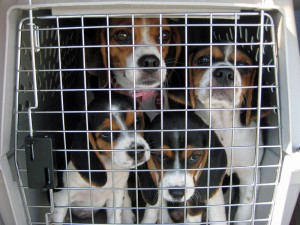 "A ""clan"" of beagles flown to safety from a NC kill shelter"